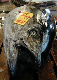 Tuna auction at Tsukiji