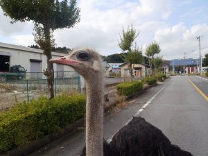 An ostrich within the 20-kilometer evacuation zone in place around the Fukushima Daiichi nuclear power plant.
