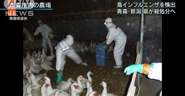 4,720 ducks intended for consumption were culled at a farm in Aomori City on Saturday after they were found to carry the H5 bird flu virus (Fuji News Network)