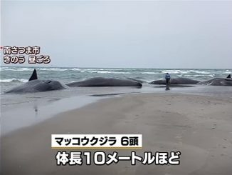Six sperm whales were found beached in Minamisatsuma City