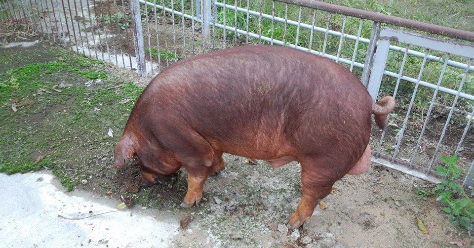 "Pig farmers raising specialty pigs named ""Clinton"" are mourning the results of the U.S. presidential election"