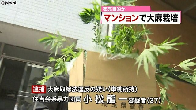 Tokyo police arrested a Asakusa Takahashi-gumi member for the cultivation of marijuana