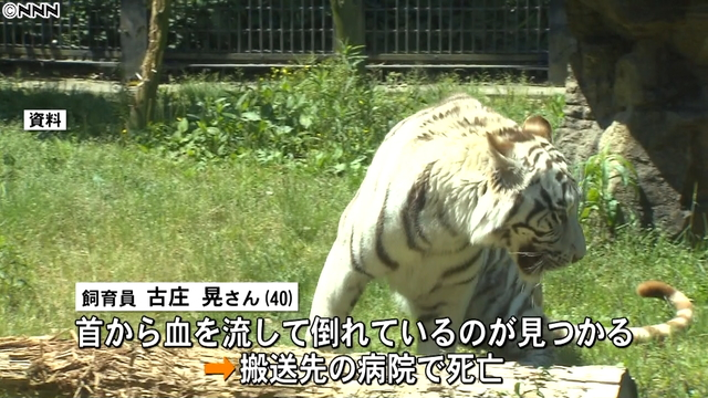 A white tiger fatally mauled a zoo keeper at a zoo in Kagoshima City on Monday